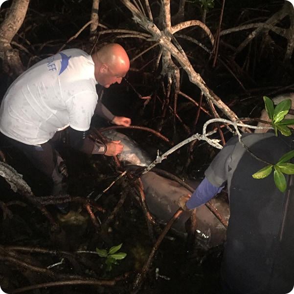 Man rescuing a dolphin from a mangrove tree