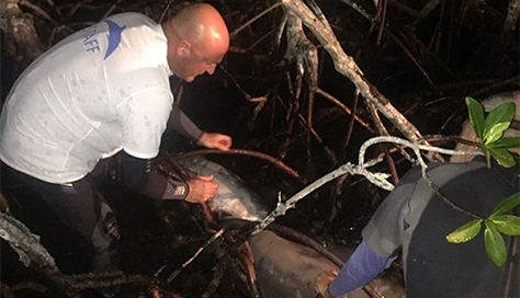 Man rescuing a dolphin from mangrove trees