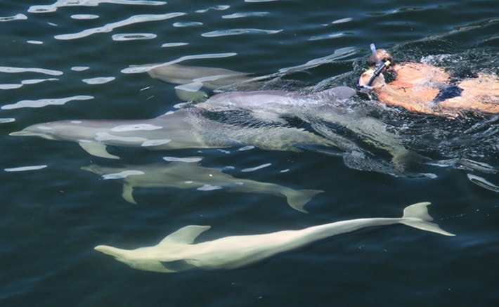 Two people snorkeling with a pod of dolphins